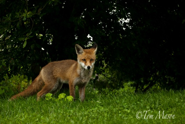 Fox cub out in the open