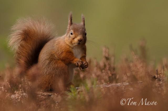 Tom_Mason_November 24, 2012-Red Squirrels-DSC_3405